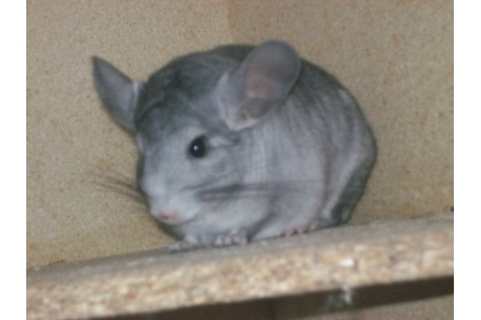 Foto 4 Chinchilla Böckchen Dringend!!!!