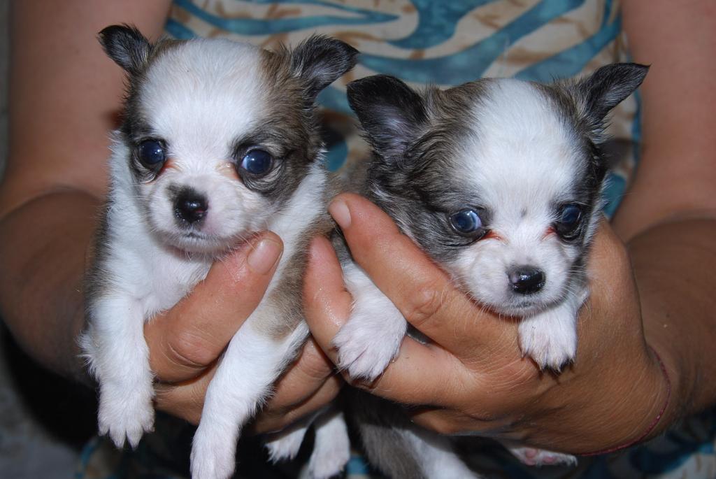 Chihuahua Saarland