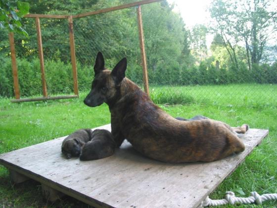 Hollandischer Schaferhund Welpen