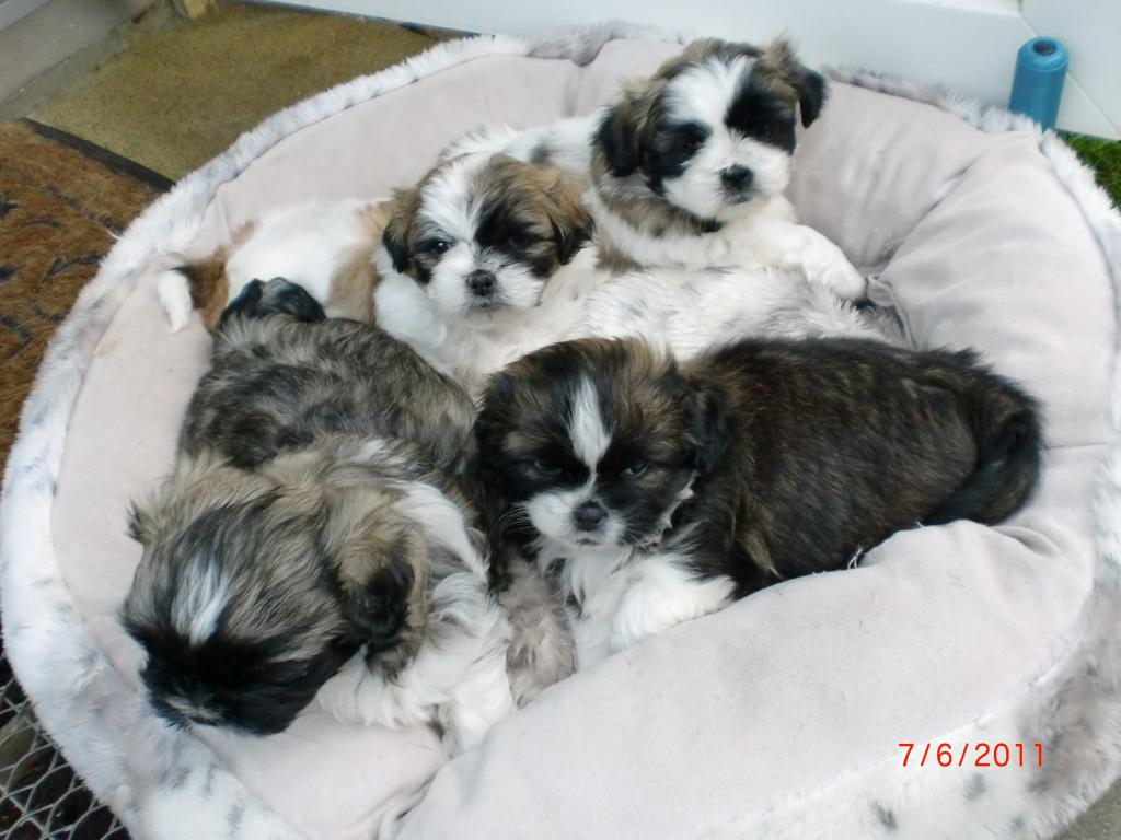 alimentos para perros zwergspitz pomeranian welpen kaufen. Black Bedroom Furniture Sets. Home Design Ideas