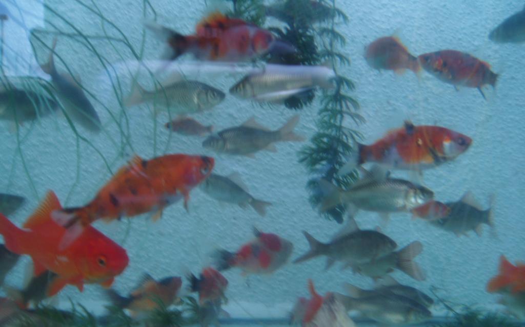 Goldfisch gartenteich f ttern garten design ideen um for Einheimische fische gartenteich