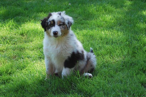 Miniature Australian Shepherd Mix Goldenacresdogs Com