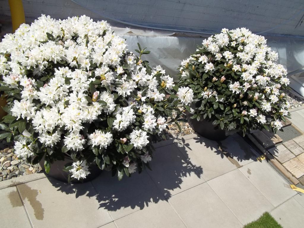 2 große schöne, gesunde, kräftige und dicht gewachsene rhododendren
